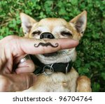 Stock photo a chihuahua with a mustache 96704764