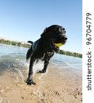 a black lab at a pond - stock photo