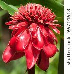 Torch Ginger Flower  Etlingera...