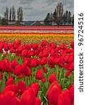 This Large Spring Tulip Field...