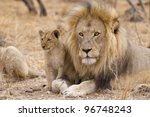 male african lion  panthera leo ... | Shutterstock . vector #96748243