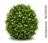 dwarf english boxwood  isolated ... | Shutterstock . vector #96765553