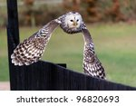 A Ural Owl In Flight At Low...