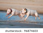 Two English Bull Terrier Dogs...
