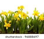 Yellow Daffodils Isolated On...
