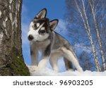 Siberian Husky Puppy 3 Months...