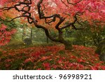 Beautiful Japanese Maple In Th...
