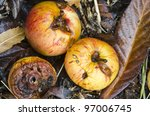 Autumn Windfall Apples  ...