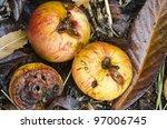 Autumn Windfall Apples  ...