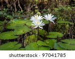 Wild Water Lilies In The...