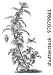 annual nettle  urtica urens   ... | Shutterstock .eps vector #97079861