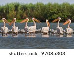 a group of pelicans in the... | Shutterstock . vector #97085303