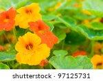 Bright Orange Nasturtium...