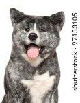 japanese grey akita inu dog...   Shutterstock . vector #97133105