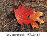 Detail of autumn maple leaves against the textured bark of a mature tree. - stock photo