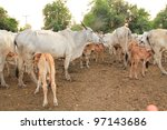 cows, calves drinking simultaneously at their mothers - stock photo