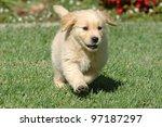 Stock photo golden retriever puppy running 97187297
