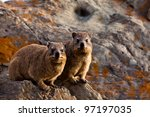 Pair Of Hyrax Animals Sitting...