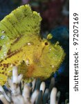 Leaf scorpionfish in the tropical reef - stock photo