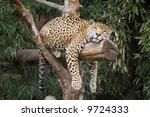 Big  Beautiful Leopard Resting...