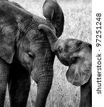 Stock photo touching black and white picture of baby elephant in poignant pose with its mother 97251248