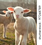 Stock photo two lambs 97268789