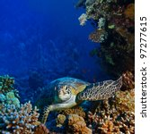 Red sea diving big sea turtle sitting on colorful coral reef - stock photo
