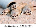 meerkats in zoo   Shutterstock . vector #97296212