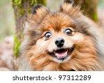 Cute And Fluffy Pomeranian Dog...