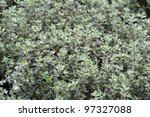 thyme thymus silver queen - stock photo