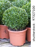 clipped buxus sempervirens - stock photo