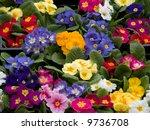 primroses | Shutterstock . vector #9736708