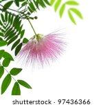 Blushing Sunburst Blossom On White Background - stock photo