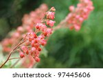 Soft focus floral image of coral bells (Heuchera) in garden.  Macro with extremely shallow dof. - stock photo