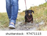 Stock photo dachshund dog walking beside owner 97471115