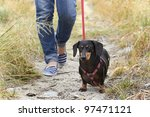 Stock photo walking a dachshund dog 97471121