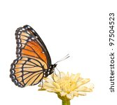 Stock photo colorful viceroy butterfly feeding on a pale yellow zinnia on white background 97504523