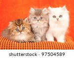 Stock photo chinchilla persian kittens on orange cushion on orange background 97504589