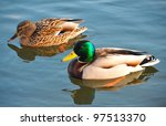 Two Wild Ducks Swim In The River