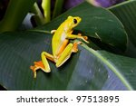 Small photo of Gliding tree frog, Agalychnis spurrelli, perching on a leaf at La Paz Waterfall Gardens, Costa Rica