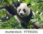 Giant Panda Bear Close Up Shot...