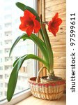 Room plant a red hippeastrum on in a basket on a balcony - stock photo