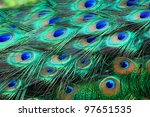 Colorful Peacock Feathers...