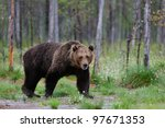 Big Brown Bear In The Bog With...
