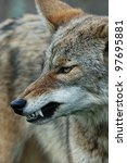 Small photo of coyote snarl