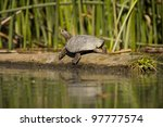 A seemingly smiling western pond turtle, photographed on the Cosumnes River in California. Photo taken from a kayak.
