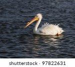 Male White Pelican In Breeding...