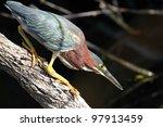 Green Heron  Butorides...