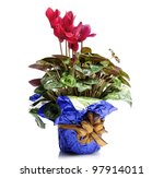 Red Cyclamen Flowers In A Pot - stock photo