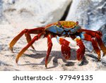 Sally Lightfoot Crab On...